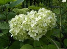 Hydrangea arborescens 'Grandiflora' -Hortensie-