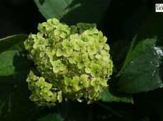 Hydrangea arborescens 'Lime Rickey' -R-