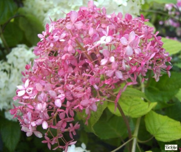 Hydrangea arborescens 'Pink Annabelle' -Hortensie-