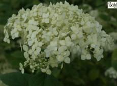 Hydrangea arborescens ssp. radiata -Silberhortensie-