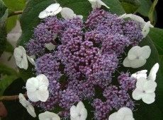Hydrangea aspera 'Macrophylla' -Samthortensie-
