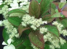Hydrangea heteromalla 'Nepal Beauty' -asiatische Strauchhortensie -