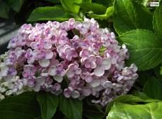 Hydrangea macrophylla 'Ayesha' -Bauernhortensie-