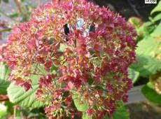 Hydrangea 'Bella Anna' ® (Hydrangea arborescens)