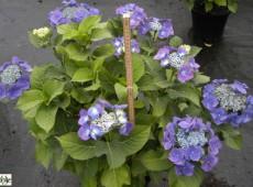 Hydrangea macrophylla 'Blaumeise' -Bauernhortensie-