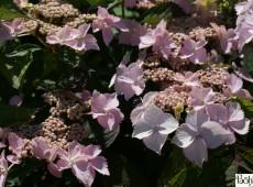Hydrangea macrophylla 'Blue Deckle' -Bauernhortensie-