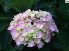 Hydrangea macrophylla 'Bouquet Rose' -Bauernhortensie-