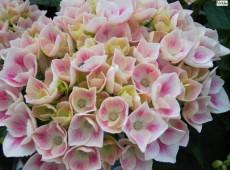 Hydrangea macrophylla 'Camilla' -Bauernhortensie-