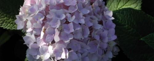 Hydrangea Endless Summer (Hortensie)