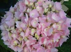 Hydrangea macrophylla 'Endless Summer' ® -Bauernhortensie-