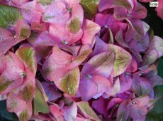 Hydrangea macrophylla 'Green Shadow' -Bauernhortensie-
