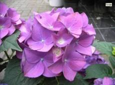 Hydrangea macrophylla 'Hobergine' -Bauernhortensie-