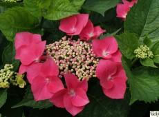 Hydrangea macrophylla 'Kardinal' -Bauernhortensie-