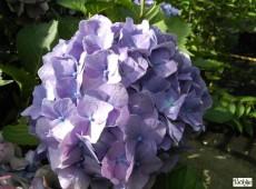 Hydrangea macrophylla 'King George VII' -Bauernhortensie-