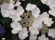 Hydrangea macrophylla 'Love you Kiss' -Bauernhortensie-