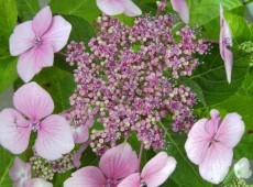 Hydrangea macrophylla 'Mariesii Perfecta' -Bauernhortensie-
