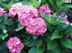 Hydrangea macrophylla 'Masja' -Bauernhortensie-