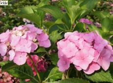 Hydrangea macrophylla 'Merveille' -Bauernhortensie-