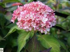 Hydrangea macrophylla 'Mirai' -Bauernhortensie-