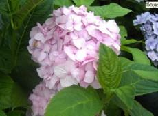 Hydrangea macrophylla 'Nikko Blue' -Bauernhortensie-