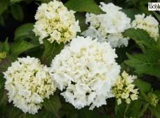 Hydrangea macrophylla 'Nymphe' -Bauernhortensie-