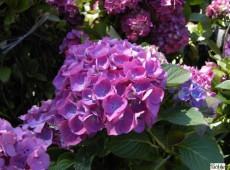 Hydrangea macrophylla 'Renate Steiniger' -Bauernhortensie-
