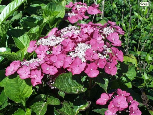 Hydrangea macrophylla 'Rotkelchen' -Bauernhortensie-
