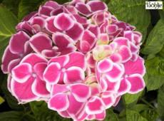 Hydrangea macrophylla 'Saturn' -Bauernhortensie-