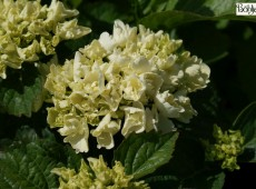 Hydrangea macrophylla 'Schneeball' -S- -Bauernhortensie-