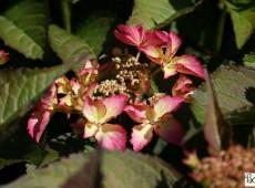 Hydrangea macrophylla 'Selina' -Bauernhortensie-