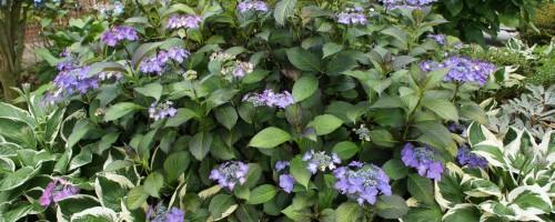 Hydrangea macrophylla Hybriden (Hortensien)