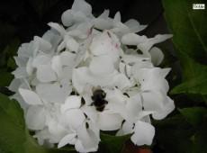 Hydrangea macrophylla 'Soeur Therese' -Bauernhortensie-