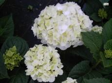 Hydrangea macrophylla 'The Bride' ® -Bauernhortensie-