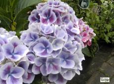 Hydrangea macrophylla 'Tivoli' -Bauernhortensie-