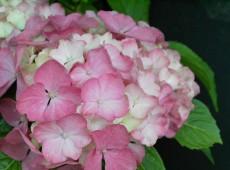 Hydrangea macrophylla 'Westfalen' -Bauernhortensie-