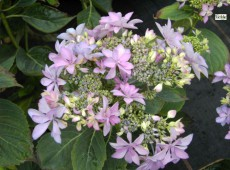 Hydrangea macrophylla 'You and Me Romance' ® -Bauernhortensie-