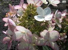 Hydrangea paniculata 'Ammarin' -Rispenhortensie-