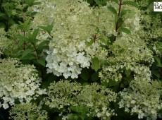 Hydrangea paniculata 'Bobo' ® -Rispenhortensie-