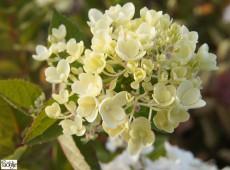 Hydrangea paniculata 'Bombshell' ® -Rispenhortensie-