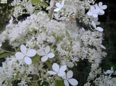 Hydrangea paniculata 'Brussels Lace' -Rispenhortensie-