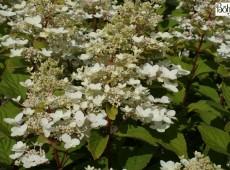 Hydrangea paniculata 'Burgundy Lace' -Rispenhortensie-