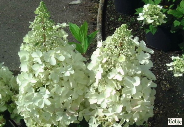 Hydrangea paniculata 'Candlelight' -R- -Rispenhortensien-