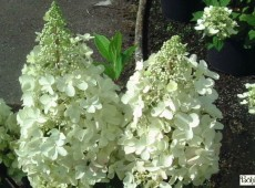 Hydrangea paniculata 'Candlelight' ® -Rispenhortensien-