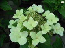 Hydrangea paniculata 'Dart's Little Dot' / 'Darlido' ® -Rispenhortensie-