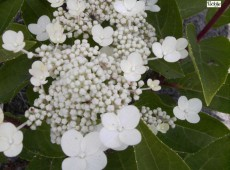 Hydrangea paniculata 'Dharuma' -Rispenhortensie-