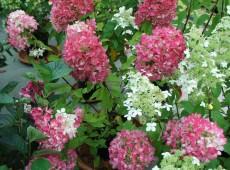 Hydrangea paniculata 'Diamant Rouge' ® -Rispenhortensie-
