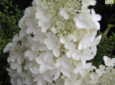 Hydrangea paniculata 'Dolly' -Rispenhortensie-