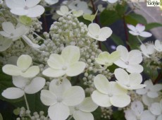 Hydrangea paniculata 'Early Sensation' -Rispenhortensie-