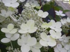 Hydrangea paniculata 'Early Sensation' -Rispenhortensie-