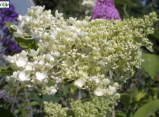 Hydrangea paniculata 'Grandiflora' -Rispenhortensie-